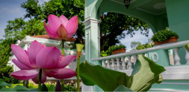 澳門荷花節 Macao Lotus Flower Festival